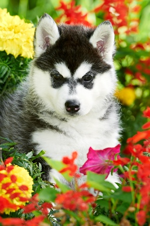 one Siberian husky puppy in flowers Stock Photo - 10521422