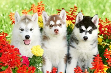three Siberian husky puppy on grass Stock Photo