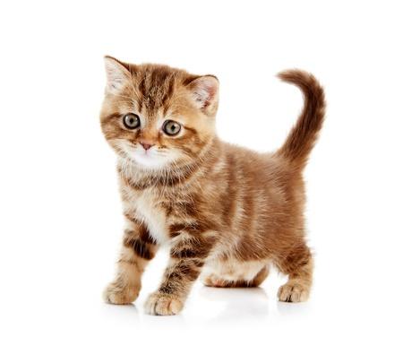 kotek: Kot brytyjski krótkowÅ'osy kitten Kot samodzielnie Zdjęcie Seryjne