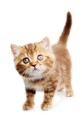 British Shorthair kitten cat isolated Stock Photo - 10543509