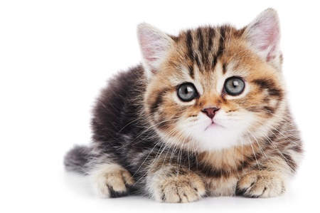 British Shorthair kitten cat isolated photo