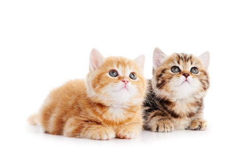 little british shorthair kittens cat Stock Photo - 10543512