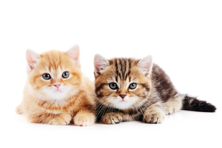 little british shorthair kittens cat Stock Photo - 10543514