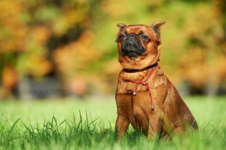 griffon bruxellois: griffon Brussels petit brabancon dog