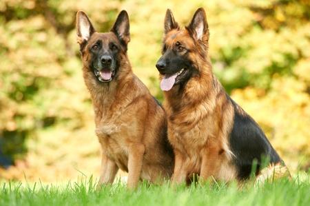 pastorcillo: dos perro pastor alemán