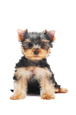 toy terrier: One Yorkshire Terrier (of three month) puppy dog Stock Photo