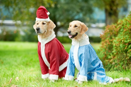 two golden retrievers dogs in new year clothing photo