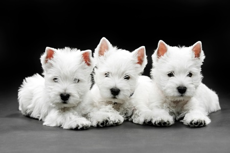 terriers: West Highland White Terrier puppies