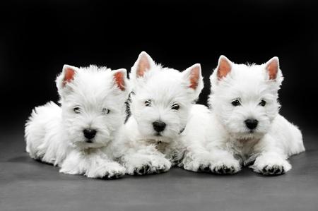 terrier: West Highland White Terrier puppies