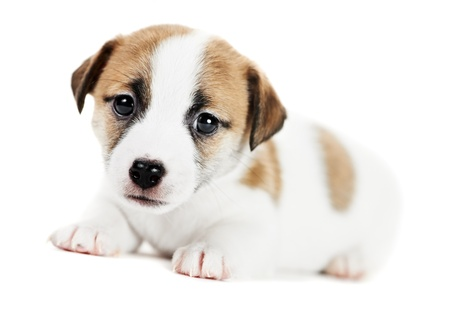terriers: one little jack russel terrier puppy
