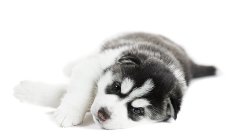 one Siberian husky puppy photo
