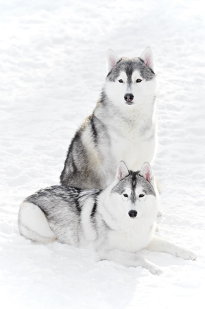 pair of siberian husky dog at winter photo