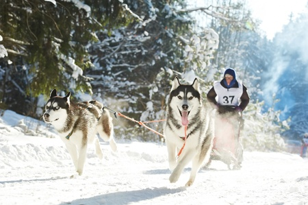 dog sled: Winter Sled dog racing musher and Siberian husky Stock Photo