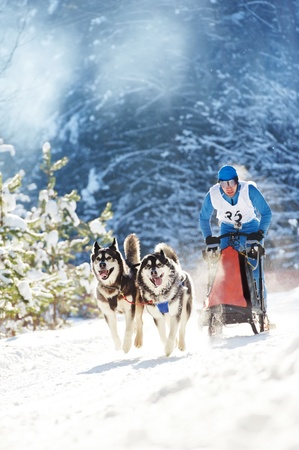 Winter Sled dog racing musher and Siberian husky photo