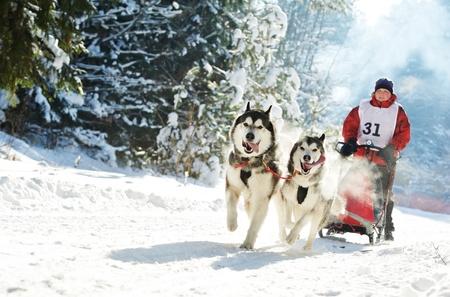 trineo: Trineo de perros de carreras de invierno musher y el husky siberiano