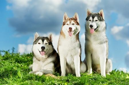 Three Siberian husky dog on grass Stock Photo - 12605626