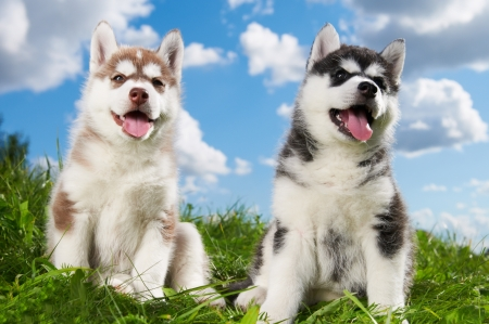 dog sled: two Siberian husky puppy dog on grass