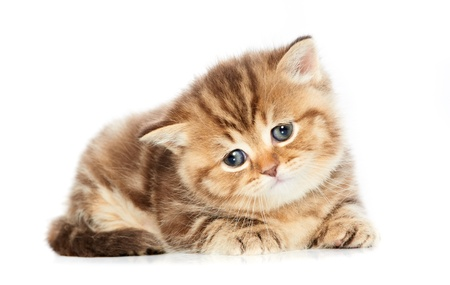 british shorthair: British Shorthair kitten cat isolated Stock Photo