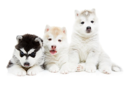 three Siberian husky puppy dog photo