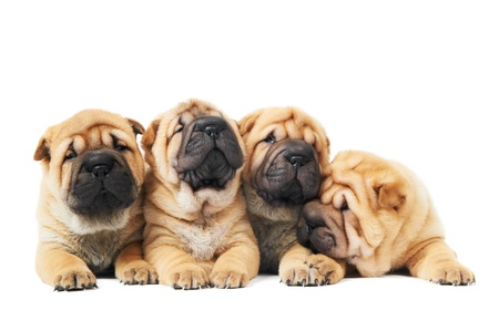 sharpei: four sharpei puppy dogs over white