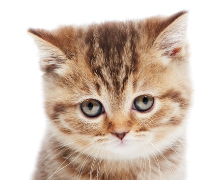 head of little British Shorthair kitten photo