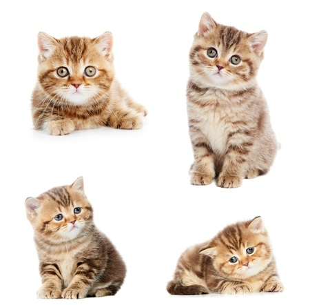 set of British Shorthair kittens photo