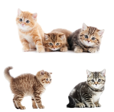 set of British Shorthair kittens Stock Photo - 13293592