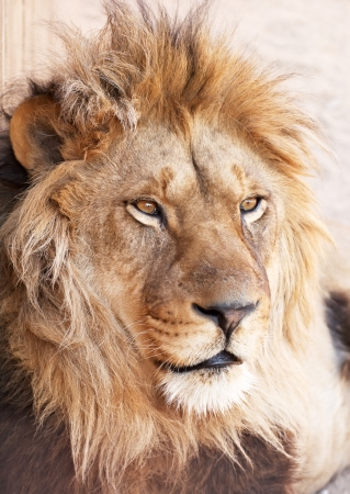 dangerous lion: Head portrait of lion animal Stock Photo
