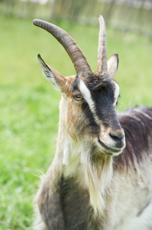 little goat with horn at green pasture photo