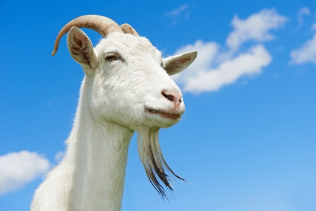 goat with horn at green pasture