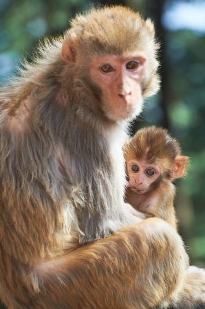 Macaque monkey mother with suckling baby photo