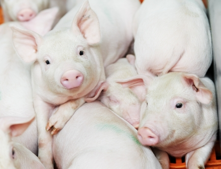 snout: group of young piglet at pig breeding farm