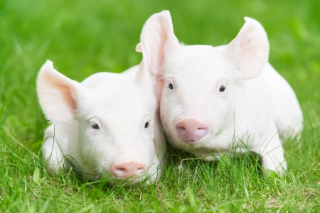 pigpen: Two young piglet on green grass at pig breeding farm