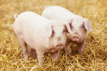 cochinitos: Dos lechones jóvenes en el heno y la paja en la granja de cría de cerdos