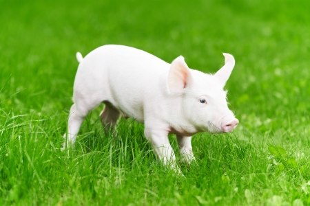 young piglet on green grass photo