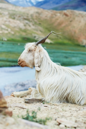 portrait of a young indian mountains animal goat lying standing on green summer pasture photo