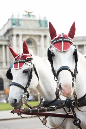 horse drawn: two horses with harness