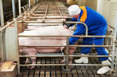 farm equipment: Pig ultrasound diagnosis