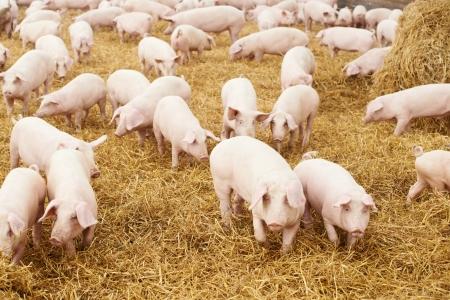 maialino giovane fieno in allevamento di maiali