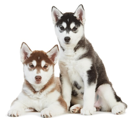 Two Siberian husky puppy isolated photo