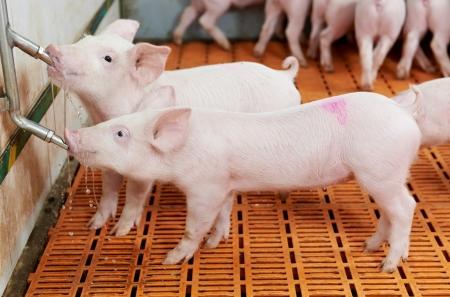 porcellini: giovane bere maialino in allevamento di maiali Archivio Fotografico