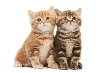 british shorthair: Two British Shorthair kitten cat isolated