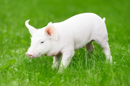 young piglet on green grass Stock Photo - 18197527