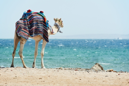 Camel at Red Sea beach
