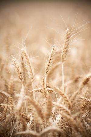 Wheat grain crop ears on field photo