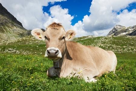 swiss alps: Brown krowa na zielonych pastwiskach trawa Zdjęcie Seryjne