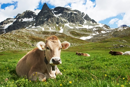 milck cow with grazing on Switzerland Alpine mountains green grass pasture over blue sky Imagens