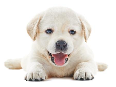 1 ヶ月間白い背景の 1 つの白い小さなラブラドル ・ レトリーバー犬の子犬の犬