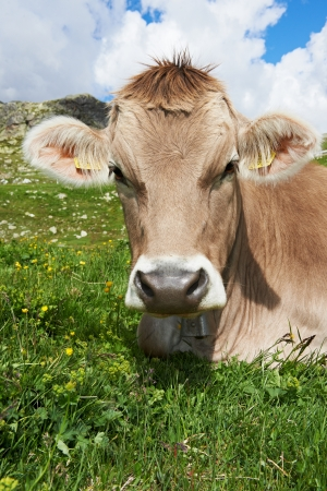 calf: milck cow with grazing on Switzerland Alpine mountains green grass pasture over blue sky Stock Photo