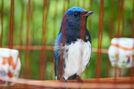 gaol: Songbird in cage. Symbol of prison